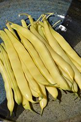 Yellow Bush Bean (Phaseolus vulgaris 'Yellow Bush') at Roger's Gardens