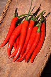 Thai Hot Pepper (Capsicum annuum 'Thai Hot') at Roger's Gardens