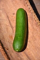 Beit Alpha Cucumber (Cucumis sativus 'Beit Alpha') at Roger's Gardens