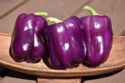 Purple Bell Pepper (Capsicum annuum 'Purple Bell') at Roger's Gardens