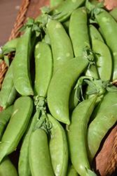 Sugar Snap Pea (Pisum sativum var. saccharatum 'Sugar Snap') at Roger's Gardens
