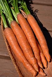 Nantes 2 Carrot (Daucus carota var. sativus 'Nantes 2') at Roger's Gardens