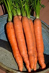 Scarlet Nantes Carrot (Daucus carota var. sativus 'Scarlet Nantes') at Roger's Gardens