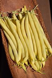 Pencil Pod Black Wax Bush Bean (Phaseolus vulgaris 'Pencil Pod Black Wax') at Roger's Gardens