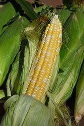 Honey 'n Pearl Sweet Corn (Zea mays 'Honey 'n Pearl') at Roger's Gardens