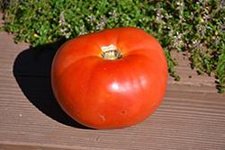 Porterhouse Tomato (Solanum lycopersicum 'Porterhouse') at Roger's Gardens