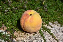 Golden Sun Peach (Prunus persica 'Golden Sun') at Roger's Gardens