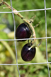 Brad's Atomic Grape Tomato (Solanum lycopersicum 'Brad's Atomic Grape') at Roger's Gardens