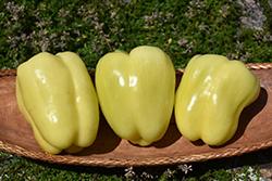 White Bell Pepper (Capsicum annuum 'White Bell') at Roger's Gardens