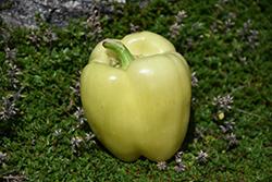 Diamond Pepper (Capsicum annuum 'Diamond') at Roger's Gardens