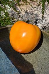 Golden Jubilee Tomato (Solanum lycopersicum 'Golden Jubilee') at Roger's Gardens