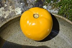 Lemon Boy Tomato (Solanum lycopersicum 'Lemon Boy') at Roger's Gardens