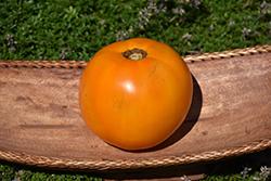Valencia Tomato (Solanum lycopersicum 'Valencia') at Roger's Gardens