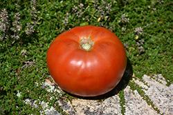 Whopper Tomato (Solanum lycopersicum 'Whopper') at Roger's Gardens