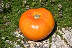 Chef's Choice Orange Tomato (Solanum lycopersicum 'Chef's Choice Orange') at Roger's Gardens