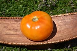 Yellow Slicer Tomato (Solanum lycopersicum 'Yellow Slicer') at Roger's Gardens