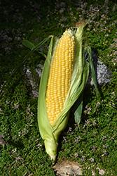 Early Golden Bantam Corn (Zea mays 'Early Golden Bantam') at Roger's Gardens