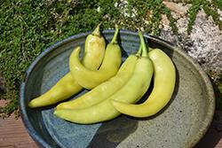 Sweet Banana Pepper (Capsicum annuum 'Sweet Banana') at Roger's Gardens