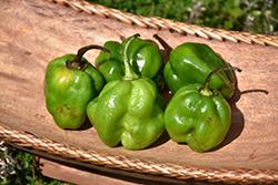 Habanero Green Pepper (Capsicum chinense 'Habanero Green') at Roger's Gardens