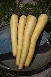 White Satin Carrot (Daucus carota var. sativus 'White Satin') at Roger's Gardens