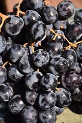 Black Monukka Grape (Vitis 'Black Monukka') at Roger's Gardens