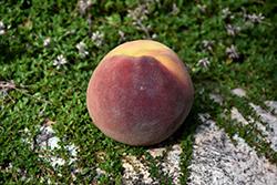 Bonanza Peach (Prunus persica 'Bonanza') at Roger's Gardens