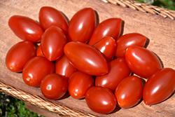 Sugary Tomato (Solanum lycopersicum 'Sugary') at Roger's Gardens