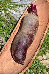 Cylindra Beet (Beta vulgaris 'Cylindra') at Roger's Gardens
