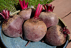 Red Ace Beet (Beta vulgaris 'Red Ace') at Roger's Gardens