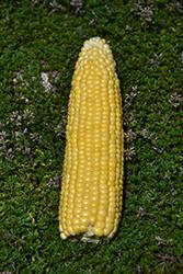 Kandy King Corn (Zea mays 'Kandy King') at Roger's Gardens