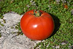 Moneymaker Tomato (Solanum lycopersicum 'Moneymaker') at Roger's Gardens