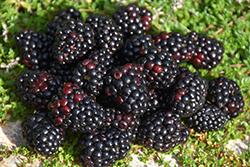 Black Satin Blackberry (Rubus Black Satin) at Roger's Gardens