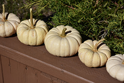 Baby Boo Pumpkin (Cucurbita pepo var. pepo 'Baby Boo') at Roger's Gardens