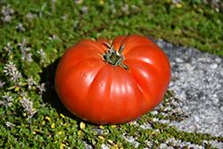 Genuwine Tomato (Solanum lycopersicum 'Genuwine') at Roger's Gardens