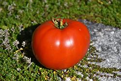 Big League Tomato (Solanum lycopersicum 'Big League') at Roger's Gardens