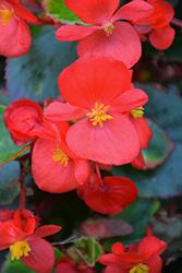 Bada Bing Scarlet Begonia (Begonia 'Bada Bing Scarlet') at Roger's Gardens