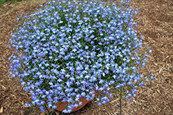 Bella Cielo Lobelia (Lobelia erinus 'Bella Cielo') at Roger's Gardens