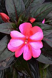 Sonic Sweet Purple New Guinea Impatiens (Impatiens 'Sonic Sweet Purple') at Roger's Gardens