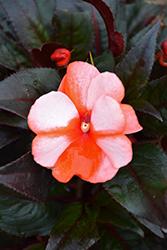 Sonic Sweet Orange New Guinea Impatiens (Impatiens 'Sonic Sweet Orange') at Roger's Gardens