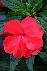 Sonic Red New Guinea Impatiens (Impatiens 'Sonic Red') at Roger's Gardens