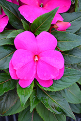 Sonic Lilac New Guinea Impatiens (Impatiens 'Sonic Lilac') at Roger's Gardens