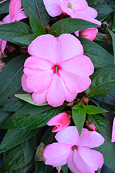 Sonic Light Pink New Guinea Impatiens (Impatiens 'Sonic Light Pink') at Roger's Gardens
