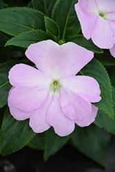 Sonic Light Lavender New Guinea Impatiens (Impatiens 'Sonic Light Lavender') at Roger's Gardens