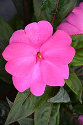 Sonic Bright Pink New Guinea Impatiens (Impatiens 'Sonic Bright Pink') at Roger's Gardens