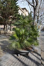 Mediterranean Fan Palm (Chamaerops humilis) at Roger's Gardens