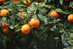 Bitter Orange (Citrus aurantium) at Roger's Gardens