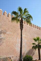 Desert Fan Palm (Washingtonia filifera) at Roger's Gardens