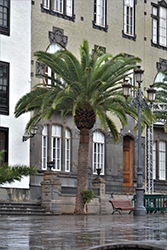 Canary Island Date Palm (Phoenix canariensis) at Roger's Gardens