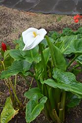 Calla Lily (Zantedeschia aethiopica) at Roger's Gardens