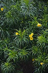 Yellow Oleander (Thevetia peruviana) at Roger's Gardens